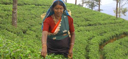 Ceylon Tee Plückerin
