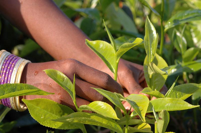 Die Teepflanze und Ihre Teesorten