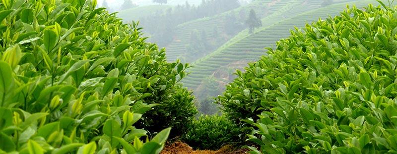 China BIO Tee aus Yunnan - Dongzhai-Teegarten