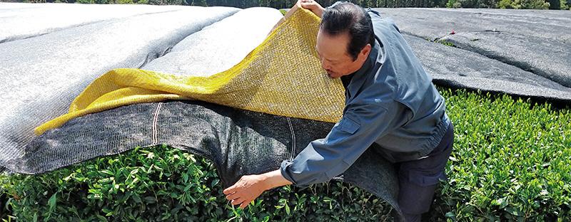 Japanischer Tee Gyokuro - Teefeld