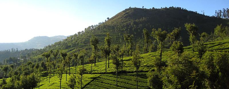 Coonoor Teegarten in Indien