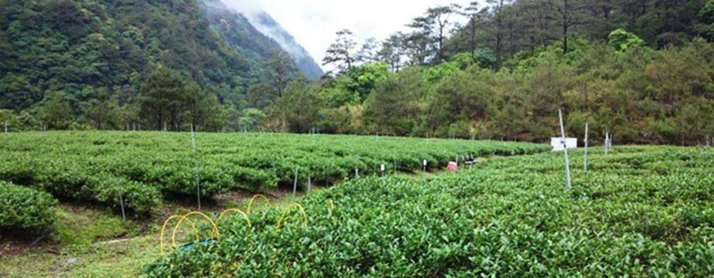 Teepflanze Li Shan