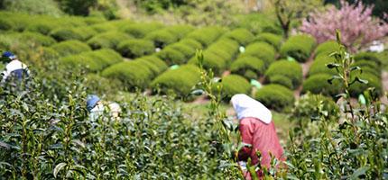 Teeernte in Japan
