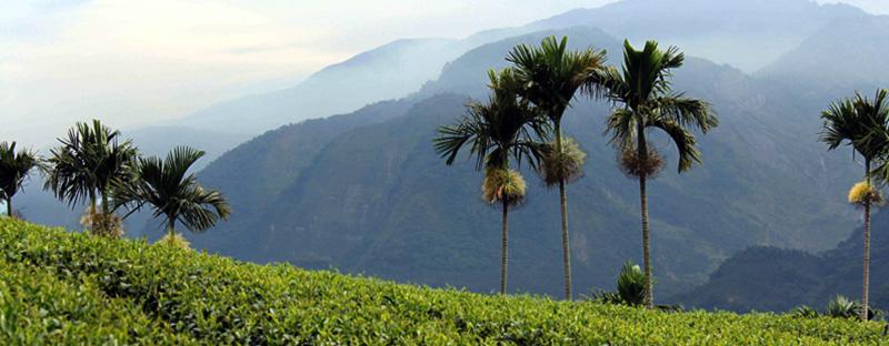 Teegarten in Taiwan