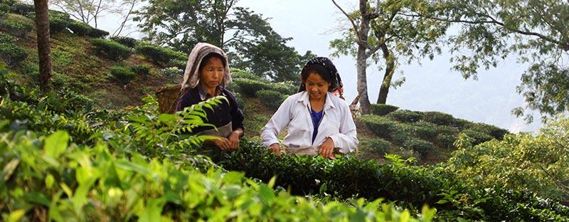 Darjeeling Weißer Tee