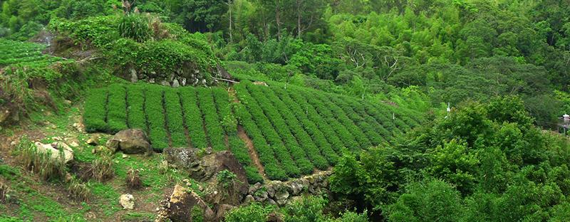Teegarten in Alishan