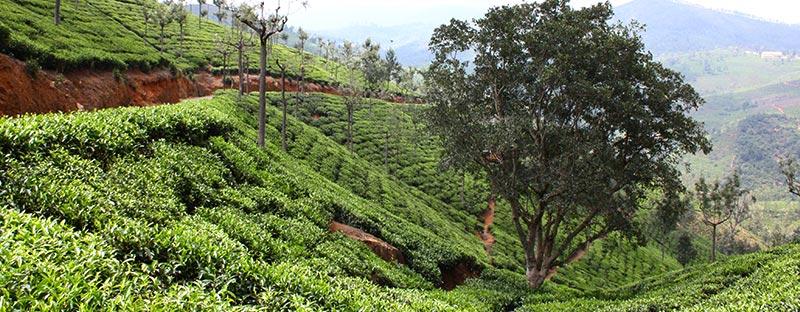 Earl Grey Tee aus Ceylon