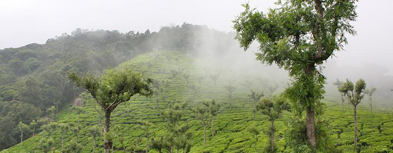 Tee aus Nilgiri in Indien