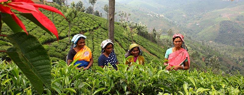 Grüner Tee aus Nilgiri