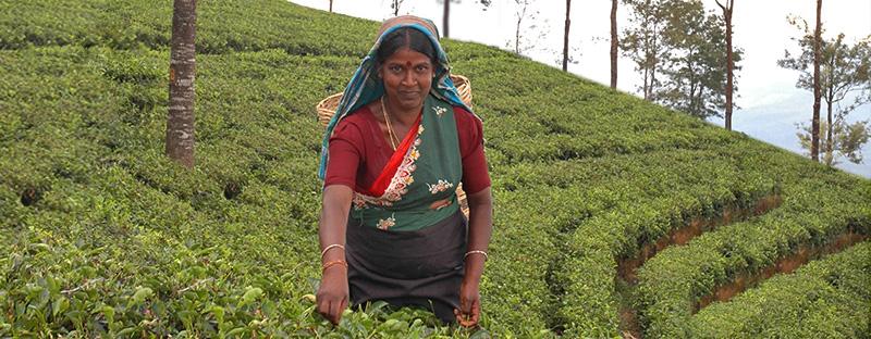 Ceylon Tee Plückerin in Sri Lanka