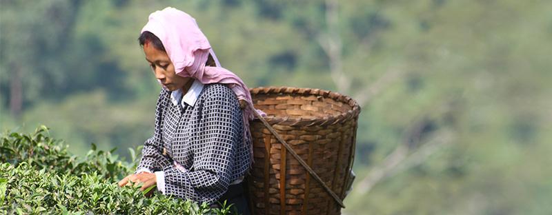 Frauen auf dem Makaibari Teegarten in Darjeeling