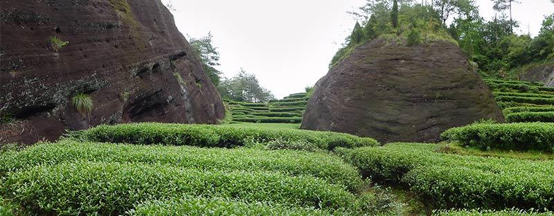 Da Hong Pao Teepflanzen vor einem Felsen in China