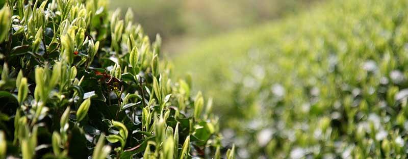 Frische Teeblätter wachsen im Teeanbaugebiet