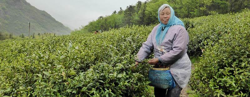 Handpflückung des Grüner Tee Huang Shan Mao Feng