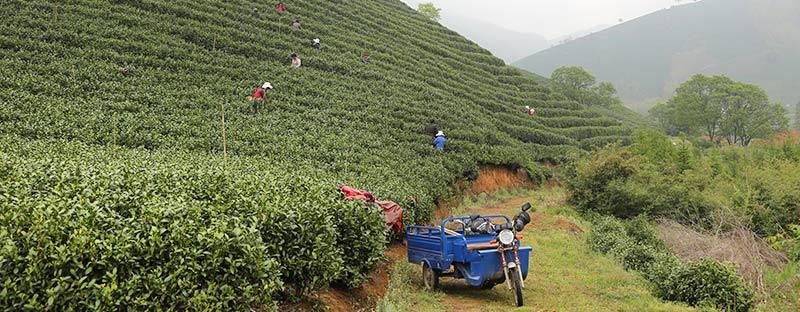 Jade Dew bei der Pflückung in China