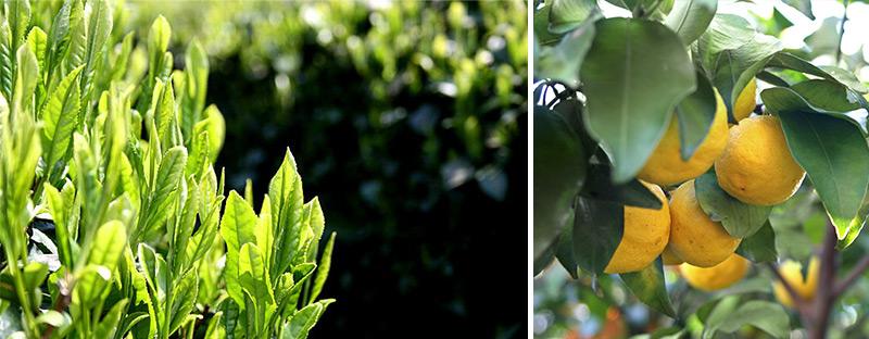 Teeblätter und japanische Yuzu Frucht am Strauch