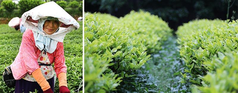 Grüner Tee vom Teeversand tea exclusive