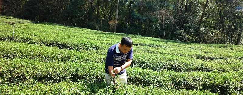 Teeplücker von Li Shan