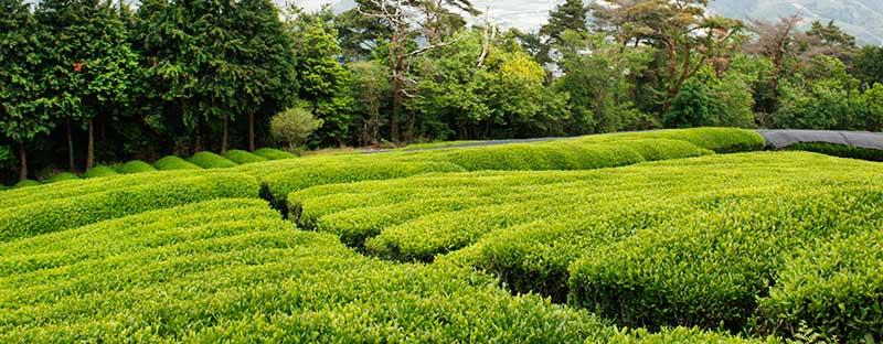 Teefeld in Japan