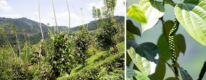 Teegarten in Sri Lanka