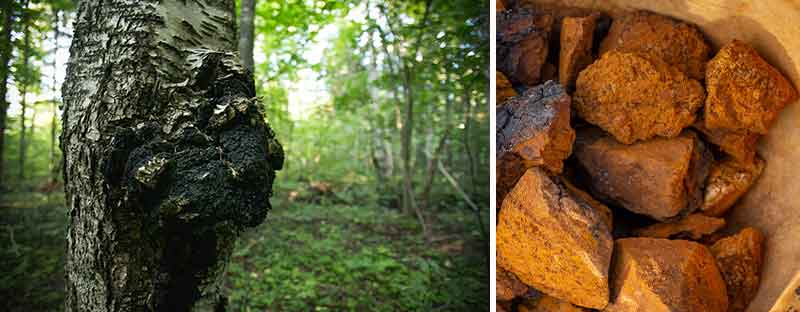BIO Chaga Pilz aus den Birkenwäldern in Baltikum