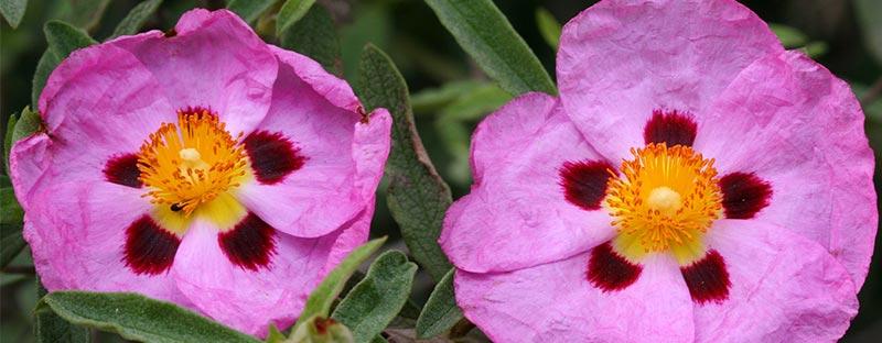 Zwei Blüten der Zistrose