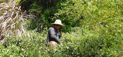 Handpflückung in Südchina