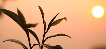 Teepflanze bei Sonnenaufgang
