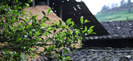 Teepflanze Jin Jun Mei