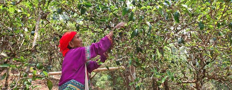 Von Hand gepflückte Teeblätter