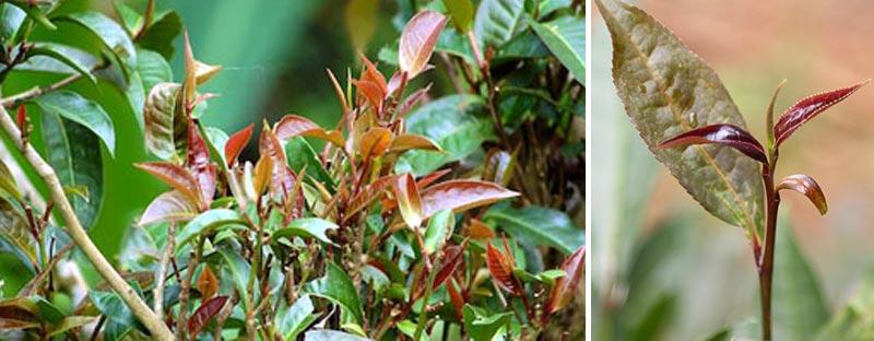 Typische purpurrote Teeblätter des Jingmai Purple Bud