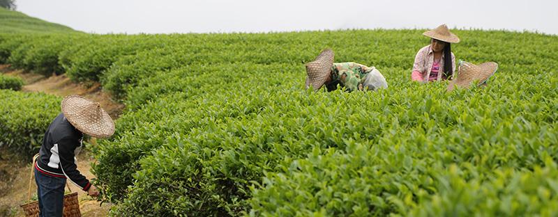 Handverlesener Grüner Tee aus Damaoshan