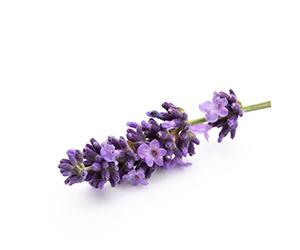 Lavendel entspannt Deinen Geist